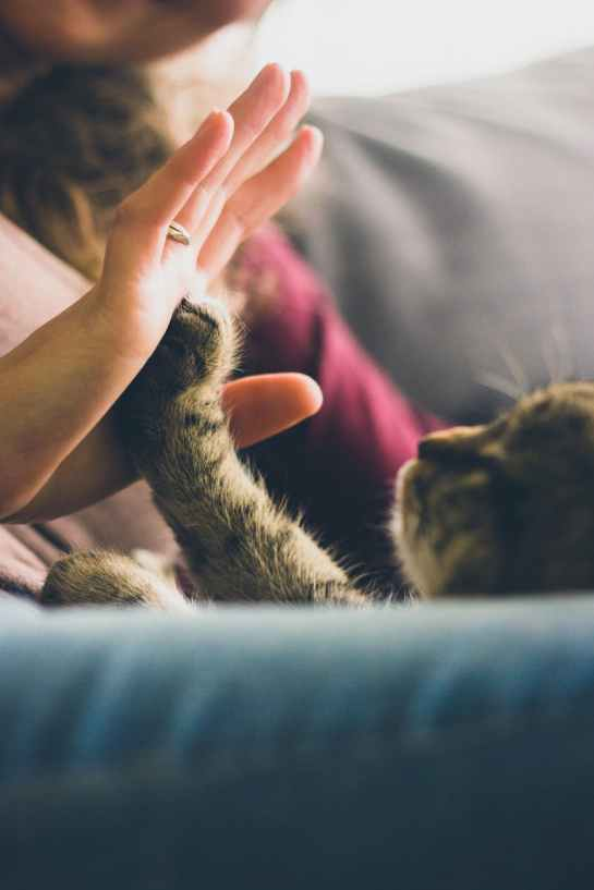 person giving high five to grey cat
