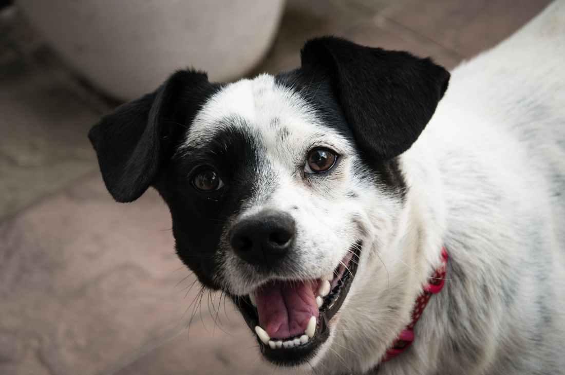 short coated white and black dog